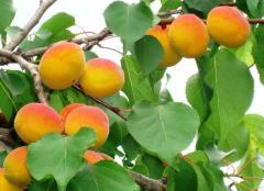 Apricots in Moldova