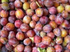 Plums for expor