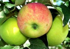 Apples autumn in Moldova