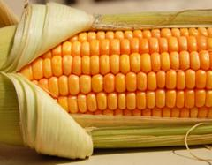 The corn is fodder