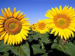 The sunflower is long-term