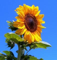 Floarea soarelui in Moldova