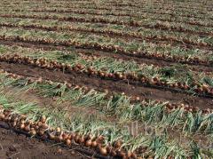 Onions seeds