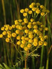 Пижма цветки (Tanacetum vulgare,  flos)