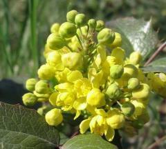 Flori Mahonia aquifolia