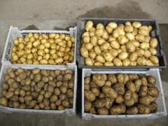 Картофель семенной Гала