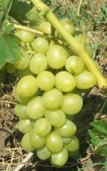 Grapes Arkady's grade