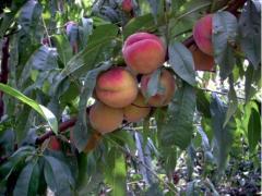 Персики кардинал в Молдове