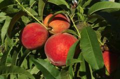 Персики молдова в Молдове