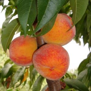 Персики  Валиант в Молдове