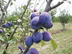 Слива Кабардинка в Молдове