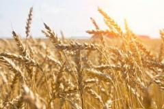Пшеница в Молдове