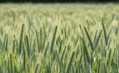 Пшеница в Кишиневе