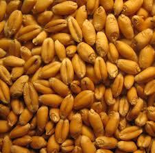 Зерна пшеницы в Молдове