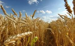 Пшеница купить,продать,Цена на пшеницу в Молдове