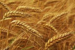 Зерновые культуры, злаки