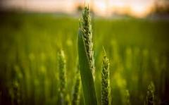 Зерна пшеницы в Кишиневе