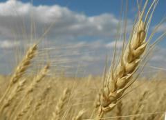 Лучшая цена на пшеницу в Молдове