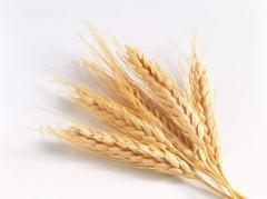 Купить пшеницу,Продать пшеницу в Кишиневе