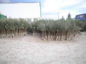 Саженцы деревьев в Молдове