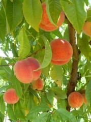 Персик в Кишиневе