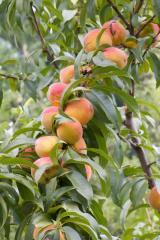Персик все сорта в Молдове