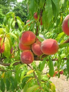 Персики по хорошей цене в Молдове