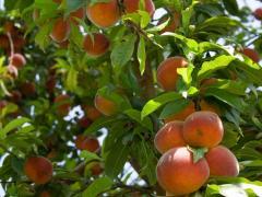 Персики в Кишиневе