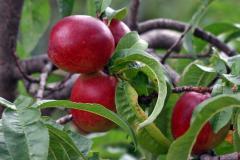 Nectarine in Moldova