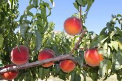 Персик в Молдове