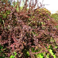 "Berberis ""Superba"","
