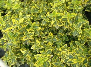 "Euonymus fortunei ""Emerald'n Gold"","