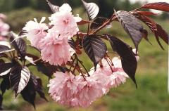 "Prunus serulata ""Royal Burgundy"", Вишня"