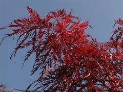 "Acer palmatum ""Dissectum Inaba-shdare"", Клен веерный ""Инабашидар"""