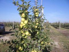 Саженцы яблонь в Молдове