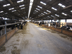 Cowshed with loose housing contents (Czech