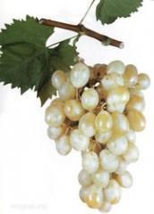 Саженцы винограда ITALIA