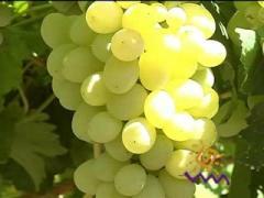 Саженцы винограда Виноград
