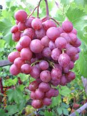 Саженцы винограда VICTORIA