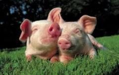 Pigs to buy in Moldova