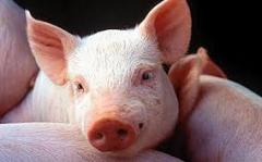 Свиньи в Молдове