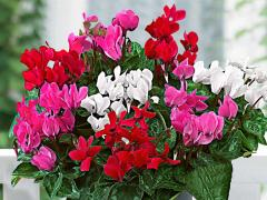 Cyclamen - floare