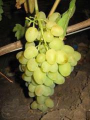 Виноград разных сортов,Виноград в Молдове и на
