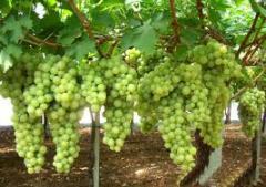 Виноград презетабиль белый