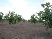 Walnut saplings in Moldova