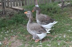 Geese to buy in Moldova