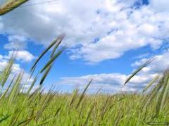 Wheat in Moldova