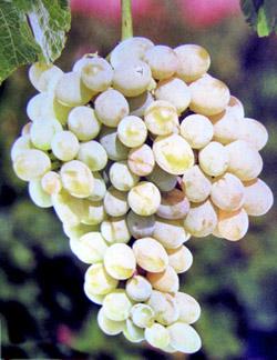 vinograd_yalovenskij_ustojchivyj