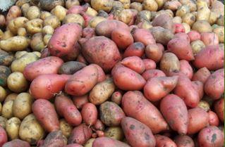 semena-kartofelya-agata-v-moldove