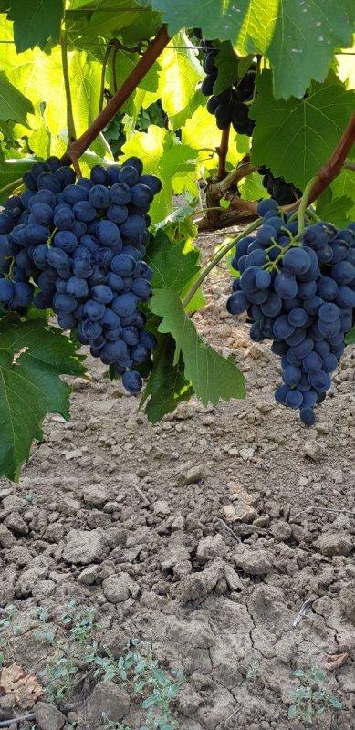 vinograd_moldova_na_eksport